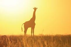 Silhouette jaune de coucher du soleil de girafe - fond et beauté de faune de la région sauvage de l'Afrique. Photo stock