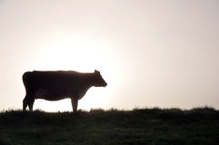 Silhouette of Jersey cow Stock Photo