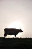 Silhouette of Jersey cow Royalty Free Stock Photography