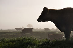 Silhouette of Jersey cows Royalty Free Stock Photography