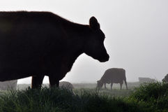 Silhouette of Jersey cows Royalty Free Stock Photos