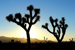 Joshua Tree National Park, USA. Silhouette of joshua trees against yellow and blue sunset sky in Joshua Tree National Park, in southeastern California, United royalty free stock image