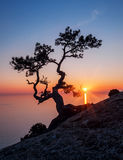 Silhouette of juniper tree royalty free stock photography
