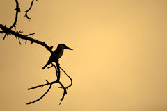 Silhouette of king fisher bird Royalty Free Stock Photo