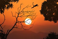 Silhouette langur jump on the leafless trees and red sky sunset. Silhouette monkey jump on the leafless trees and red sky sunset background in the evening stock images