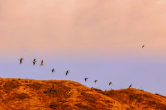 The Silhouette Of A Large Flock Of Pelicans Royalty Free Stock Images