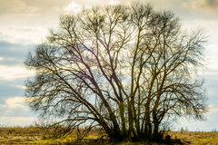 The silhouette of a large tree, a vine, a crown without leaves, against a background of an evening white-blue-orange sky Royalty Free Stock Photos