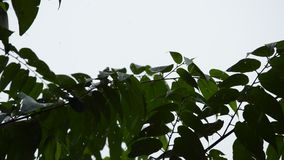 Silhouette leaf blowing from wind in garden while hard rain falling. Silhouette leaf blowing from wind in the garden while hard rain falling stock footage
