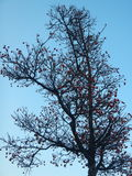 Silhouette of a leafless tree with rovan berries. A silhouette of a leafless tree with rovan berries stock images