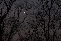 The silhouette of a leafless treeline. In the night time Stock Image