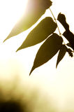 Silhouette Leaves Stock Images
