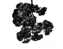 Silhouette leaves Of The Bush isolate on white background Royalty Free Stock Photos