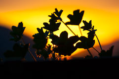 Silhouette of leaves in foreground with splendid color effects at dawn Stock Photography