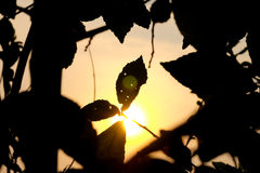 Silhouette of leaves Stock Photos