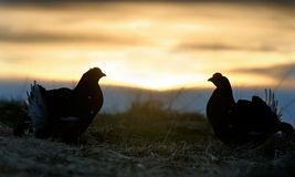 Silhouette of Lekking Black Grouse Royalty Free Stock Photos
