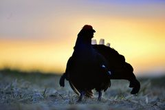 Silhouette of Lekking Black Grouse Stock Images