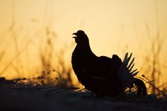 Silhouette of Lekking Black Grouse Stock Photography