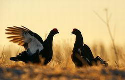 Silhouette of Lekking Black Grouse Stock Photo