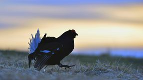 Silhouette of Lekking Black Grouse Stock Photos