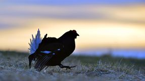 Silhouette of Lekking Black Grouse Stock Image
