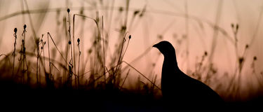 Silhouette of Lekking Black Grouse ( Lyrurus tetrix) Royalty Free Stock Images