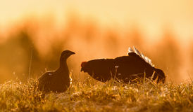 Silhouette of Lekking Black Grouse ( Lyrurus tetrix) male and female against the dawn sky. Stock Photography