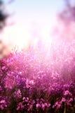 Lilac wildflowers Royalty Free Stock Photos