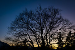 silhouette of lime tree at sunset Stock Photo