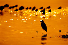 Silhouette of Little Egret with twilight Royalty Free Stock Photography