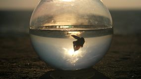 Silhouette of a little fish Betta splendens swim in a round fishbowl by the ocean at sunset. slow motion concept surrounding space stock video footage