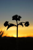 Silhouette Little Iron Weed Royalty Free Stock Photo