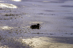 Silhouette of lone duck swimming in deep winter lake waters at s royalty free stock photography