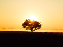 Silhouette of Lonely tree at sunrise with mist as background Stock Photo