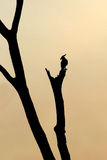 Silhouette of a Long-crested Eagle on a tree Royalty Free Stock Photo