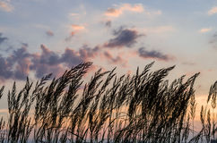 Silhouette of long grasses against the sunset. With clouds Stock Photos