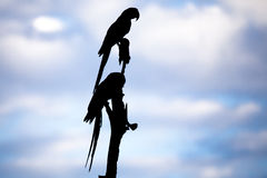 Silhouette of Macaws on Tree Against Blue Sky with Clouds Stock Images