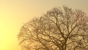 The silhouette majestic tree with idyllic sunset at dusk and clear sky background. Silhouette of dark tree branches at sunrise.  stock footage