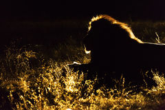 Silhouette of a male lion Royalty Free Stock Photo