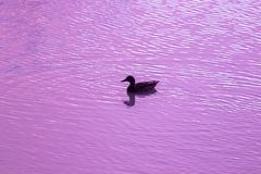 Silhouette of mallard duck swimming in a lake at sunset. Silhouette of a duck with a pink background at sunset on a lake Royalty Free Stock Photo