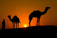 Silhouette of a man and two camels Royalty Free Stock Image