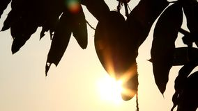 Silhouette of mangoes  tree with sunlight, chiangmai Thailand.  stock footage