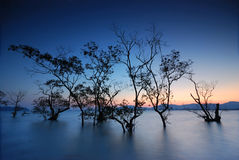 Silhouette of mangrove trees Stock Image