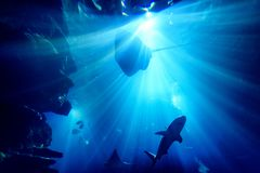 Silhouette of manta ray in aquarium royalty free stock image