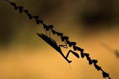 Silhouette of Mantis religiosa - common name praying mantis an e Stock Photos