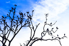 Silhouette of many asian open billed stork birds on a treetop Stock Photos