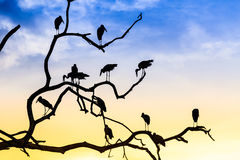 Silhouette of many asian open billed stork birds on a treetop Stock Photo