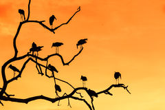 Silhouette of many asian open billed stork birds on a treetop Royalty Free Stock Image