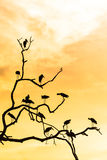Silhouette of many asian open billed stork birds on a treetop Royalty Free Stock Photos