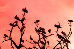 Silhouette of many asian open billed stork birds on a treetop Stock Images