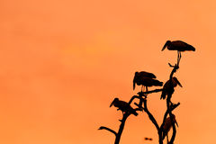 Silhouette of many asian open billed stork birds on a treetop Royalty Free Stock Images